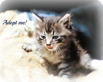 Domestic Shorthair Kitten for adoption in mishawaka, Indiana - Lancelot