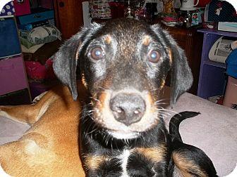 Labrador Retriever/Retriever (Unknown Type) Mix Puppy for adoption in South Dennis, Massachusetts - Rusty