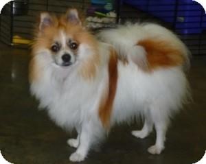 Pomeranian Dog for adoption in Proctorville, Ohio, Ohio - Jazzy