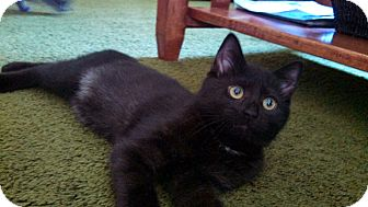 Russian Blue Kitten for adoption in Randolph, New Jersey - April
