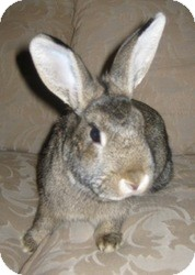 Chinchilla, Standard Mix for adoption in Maple Shade, New Jersey - Elizabeth