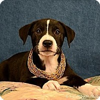 Adopt A Pet :: Phoebe - Lapeer, MI