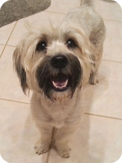 Wheaten Terrier Mix Dog for adoption in Orlando, Florida - Mildred