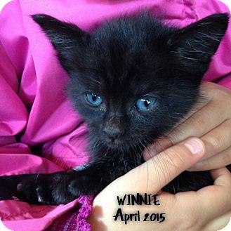 Domestic Shorthair Kitten for adoption in Great Neck, New York - WINNIE