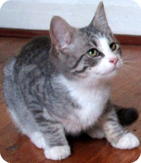 Domestic Shorthair Kitten for adoption in Cleveland, Ohio - Cindy