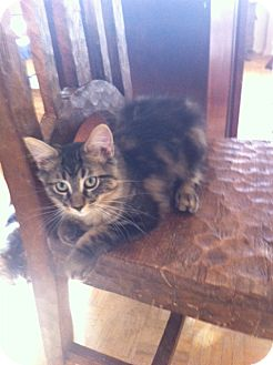 Domestic Shorthair Cat for adoption in Toronto, Ontario - Em