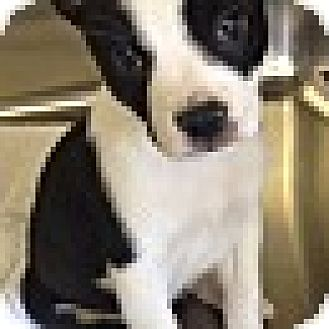 Boston Terrier Mix Puppy for adoption in knoxville, Tennessee - PANDA