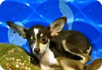Chihuahua Dog for adoption in Ravenna, Texas - Faith