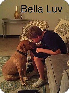 American Staffordshire Terrier/Labrador Retriever Mix Dog for adoption in Scottsdale, Arizona - Bella Luv