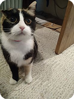 Calico Cat for adoption in St. Louis, Missouri - Helen