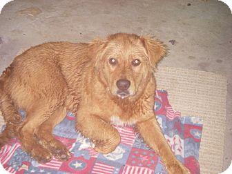 Golden Retriever Mix Dog for adoption in Buchanan Dam, Texas - Luke