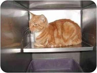 Domestic Shorthair Cat for adoption in Warwick, Rhode Island - Mick