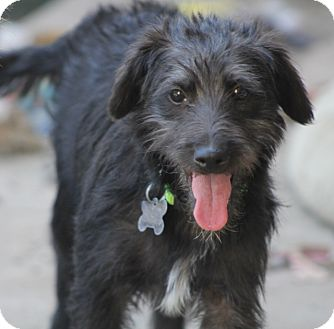 Schnauzer (Miniature)/Terrier (Unknown Type, Small) Mix Dog for adoption in Allentown, Pennsylvania - Frack
