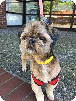 "Shih Tzu Dog for adoption in Seattle, Washington - ""Emma"""