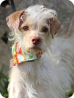 Irish Terrier/Terrier (Unknown Type, Small) Mix Dog for adoption in Monroeville, Pennsylvania - REYNOLDS