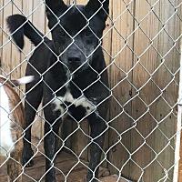 Adopt A Pet :: Blue - Staunton, VA