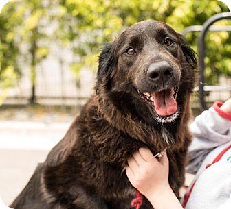 Shepherd (Unknown Type)/Labrador Retriever Mix Dog for adoption in San Francisco, California - Camille