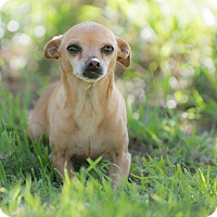 Chihuahua Mix Dog for adoption in Pasadena, California - Mimi