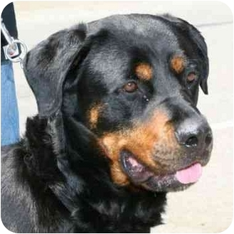 Rottweiler Mix Dog for adoption in Berkeley, California - Nadine