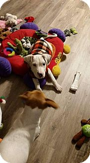 Pit Bull Terrier Mix Puppy for adoption in Valley Stream, New York - Ray