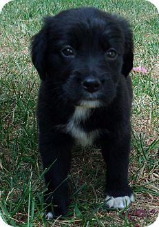 Border Collie/Flat-Coated Retriever Mix Puppy for adoption in PRINCETON, Kentucky - Ed
