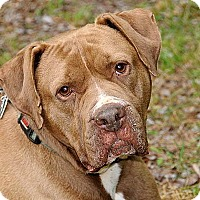 Labrador Retriever/Mastiff Mix Dog for adoption in Pottstown, Pennsylvania - Teddy Bear