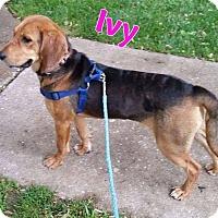 Adopt A Pet :: Ivy - WESTMINSTER, MD
