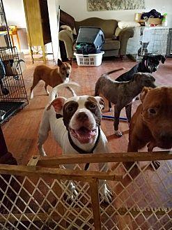 Bulldog Mix Dog for adoption in Greenville, North Carolina - Hugo