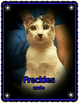Domestic Shorthair Kitten for adoption in Richmond, California - Freckles