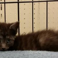 Domestic Shorthair/Domestic Shorthair Mix Cat for adoption in Buffalo, Wyoming - Candace