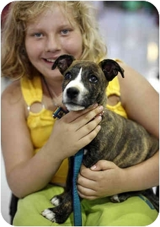 Staffordshire Bull Terrier/Shepherd (Unknown Type) Mix Puppy for adoption in Los Angeles, California - Champ