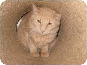 Maine Coon Cat for adoption in Randolph, New Jersey - Lance