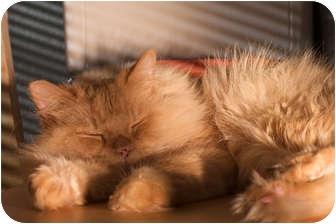 Persian Cat for adoption in Santa Rosa, California - Toby