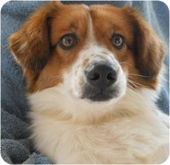 Cavalier King Charles Spaniel/Spaniel (Unknown Type) Mix Dog for adoption in Irvine, California - BOMBON