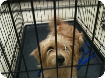 Lhasa Apso Mix Dog for adoption in Skiatook, Oklahoma - Alvin