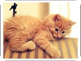 Domestic Longhair Kitten for adoption in Toronto, Ontario - Ayra