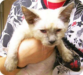 Siamese Kitten for adoption in Toledo, Ohio - Ping