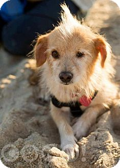 Border Terrier Mix Dog for adoption in Madison, New Jersey - Pepe