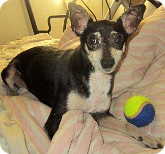 Chihuahua Mix Dog for adoption in Detroit, Michigan - Squish