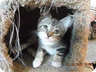 Domestic Shorthair Kitten for adoption in Riverside, Rhode Island - Bianca 2