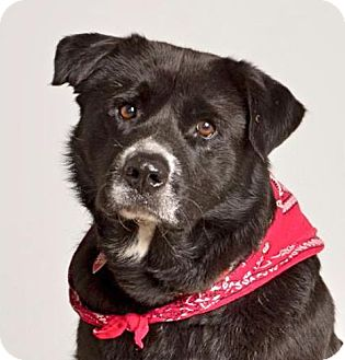 Labrador Retriever/Shepherd (Unknown Type) Mix Dog for adoption in Baton Rouge, Louisiana - Knightly