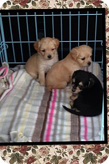 Spaniel (Unknown Type)/Terrier (Unknown Type, Small) Mix Puppy for adoption in Brea, California - Puppies