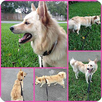 American Eskimo Dog Mix Dog for adoption in Orlando, Florida - Amy