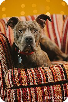 Pit Bull Terrier Dog for adoption in Portland, Oregon - Martin