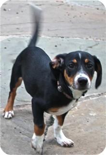 Dachshund/Terrier (Unknown Type, Small) Mix Dog for adoption in Norwalk, Connecticut - Preston