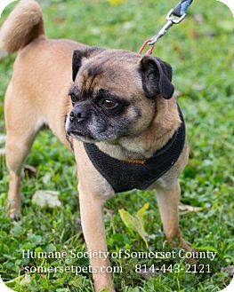 Pug/Beagle Mix Dog for adoption in Somerset, Pennsylvania - Max