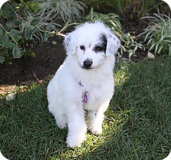 Poodle (Miniature)/Terrier (Unknown Type, Small) Mix Puppy for adoption in Newport Beach, California - SAPPHIRE
