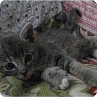 Adopt A Pet :: Kitten 1 - Davis, CA