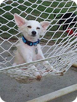 Papillon/Chihuahua Mix Dog for adoption in Marietta, Georgia - Gandolf the White