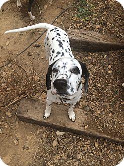 Dalmatian Puppy for adoption in Mandeville Canyon, California - Lucky